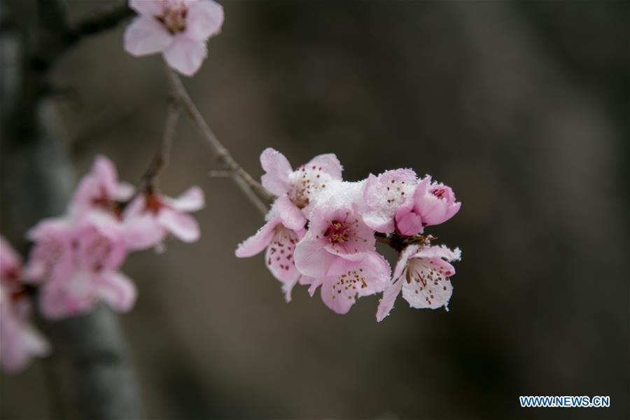 Photo taken on April 9, 2019 shows the snow-covered peach flowers at a tourist scenic spot in Mentougou District in Beijing, capital of China. (Xinhua/Hou Jiqing)