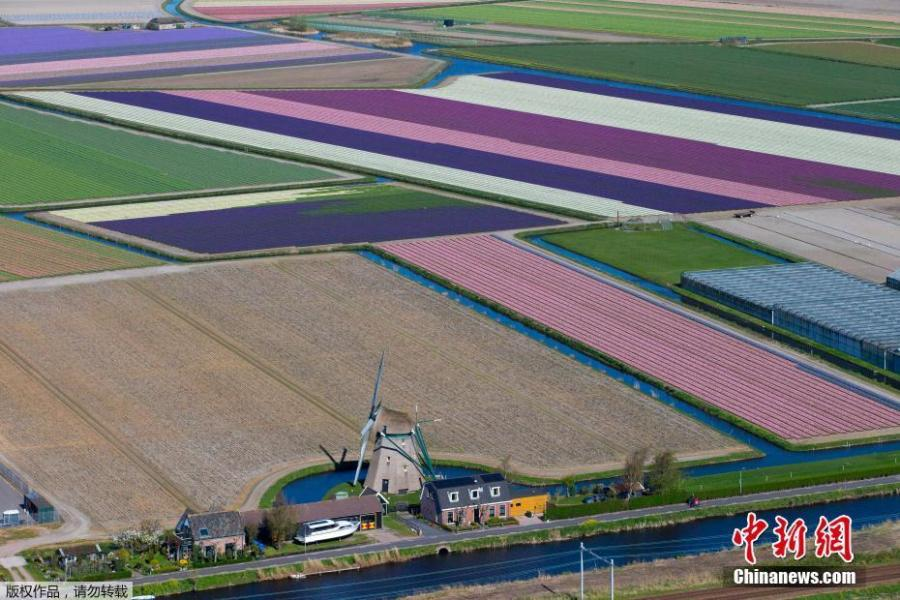 Photo shows the aerial view of flower fields in Lisse, Netherlands, April 10, 2019.  (Photo/Agencies)