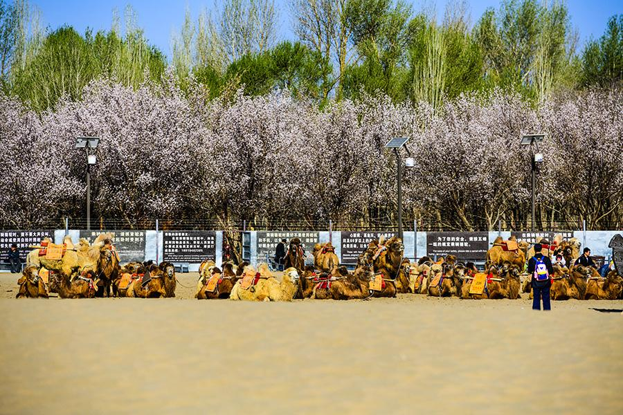 Apricots have come into blossom right at the foot of the Echoing-Sand Mountain (Mingsha Mountain, making Dunhuang the ideal spot for spring outings. (Photo/chinadaily.com.cn)