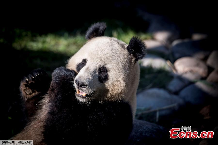 Photo taken on April 10, 2019 at Copenhagen\'s zoo shows the panda named Xing Er at an enclosure during the official presentation to the press of two pandas recently arrived from China.  (Photo/Agencies)
