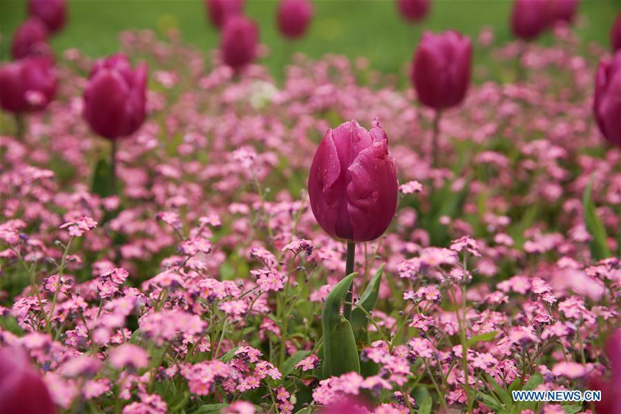 Photo taken on April 10, 2019 shows the tulip flowers in downtown Zagreb, capital of Croatia. (Xinhua/Zheng Huansong)