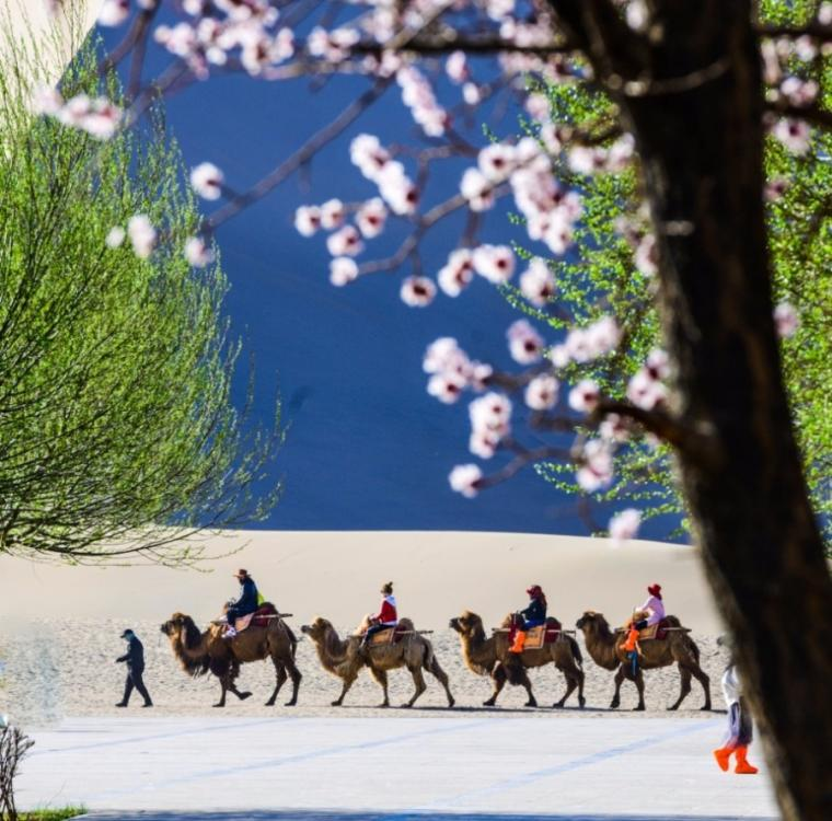 Clear weather and apricot blossoms bring increasing visitors to Dunhuang, Northwestern China\'s Gansu Province. (Photo/chinadaily.com.cn)