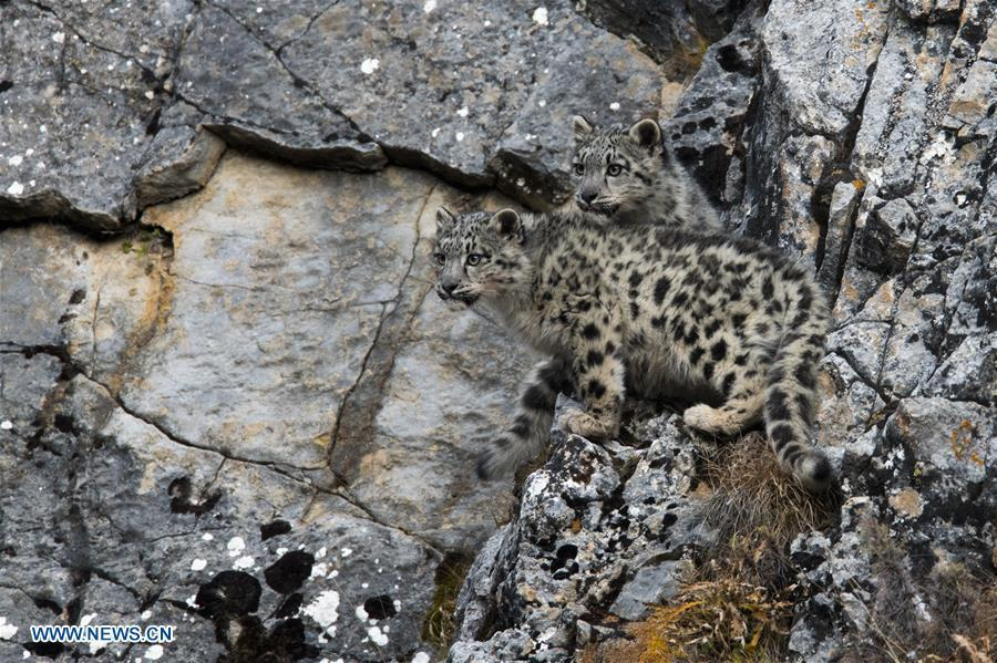 Photo taken on Oct. 22, 2017 shows two snow leopard cubs at Three-river-source National Park in northwest China\'s Qinghai Province. (Photo/Xinhua)
