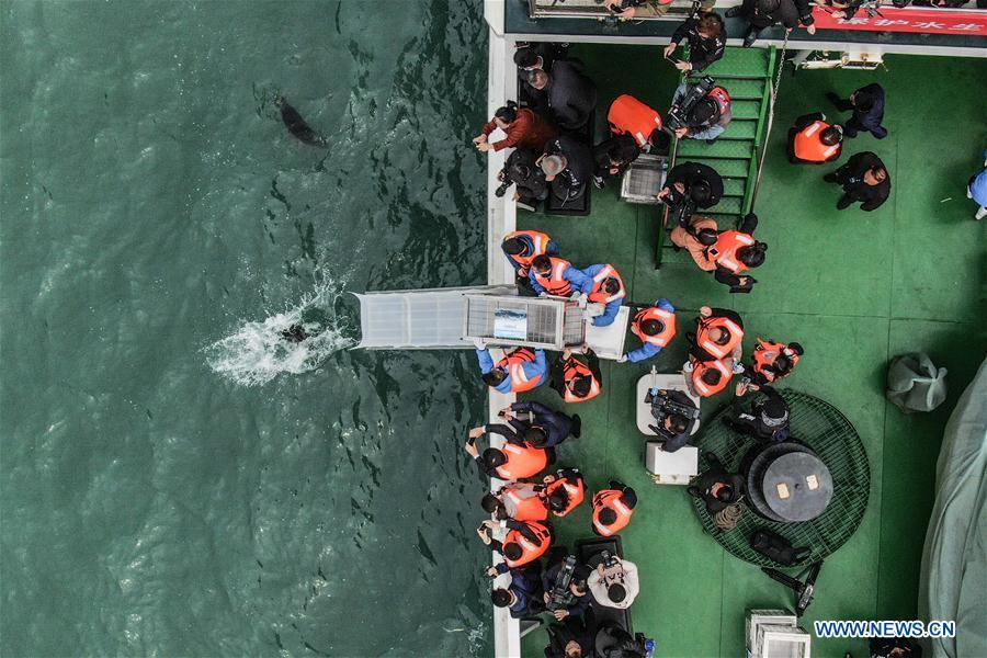 Aerial photo taken on April 11, 2019 shows a spotted seal being released back into the wild in Dalian, northeast China\'s Liaoning Province. Twenty-four spotted seals were released back into the wild on Thursday in the coastal city of Dalian. The 24 released seals were among 100 baby spotted seals that were illegally poached in February 2019, according to the provincial government. (Xinhua/Pan Yulong)