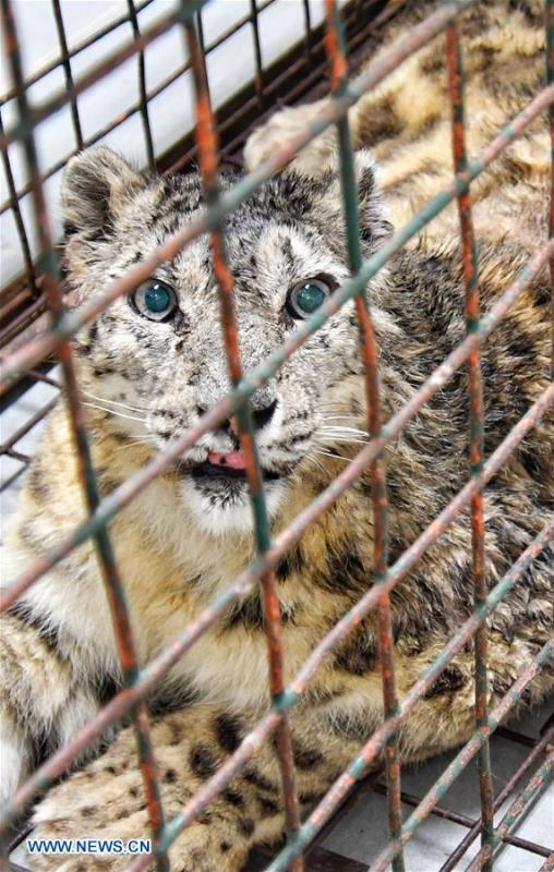 Female snow leopard Ling Xue, who has recovered from injuries, waits to be returned to Qinghai Province at Beijing Zoo in Beijing, capital of China, May 11, 2018. (Photo/Xinhua)