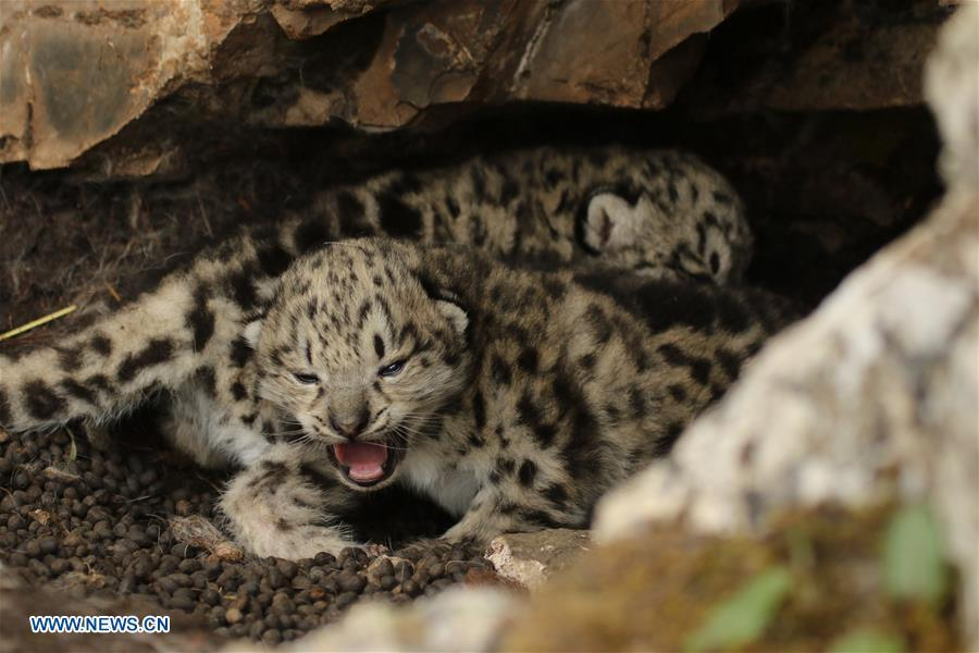 Photo taken on June 16, 2017 shows snow leopard cubs in bushes in Gaduo Township of Chengduo County under Yushu Tibetan Autonomous Prefecture, northwest China\'s Qinghai Province. (Photo/Xinhua)