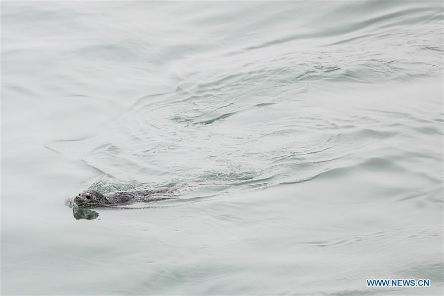 Photo taken on April 11, 2019 shows a spotted seal swimming after it was released back into the wild in Dalian, northeast China\'s Liaoning Province. Twenty-four spotted seals were released back into the wild on Thursday in the coastal city of Dalian. The 24 released seals were among 100 baby spotted seals that were illegally poached in February 2019, according to the provincial government. (Xinhua/Pan Yulong)