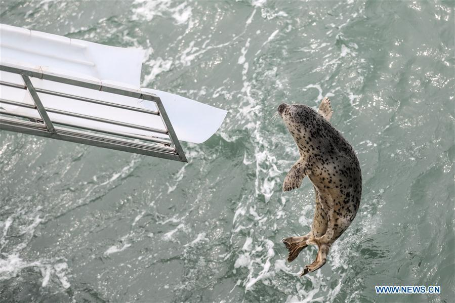 Photo taken on April 11, 2019 shows a spotted seal being released back into the wild in Dalian, northeast China\'s Liaoning Province. Twenty-four spotted seals were released back into the wild on Thursday in the coastal city of Dalian. The 24 released seals were among 100 baby spotted seals that were illegally poached in February 2019, according to the provincial government. (Xinhua/Pan Yulong)