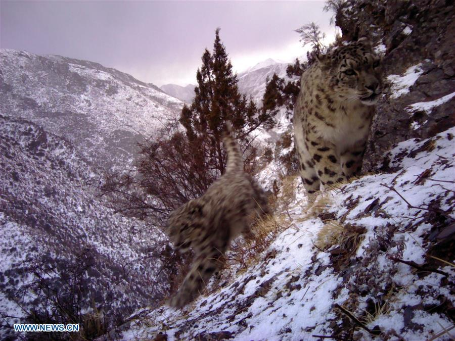 Photo taken by infrared camera on Nov. 14, 2017 shows a baby snow leopard with its mother in the Nujiang River valley in Changdu, southwest China\'s Tibet Autonomous Region. (Photo/Xinhua)