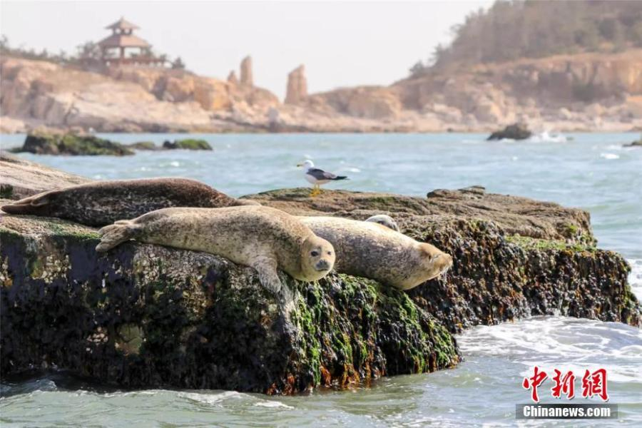 Wild spotted seals are seen in the sea near Changshan Island in Changdao County, Shandong Province. The spotted seals have recently migrated from Liaodong Bay to the area, which is rich with fish, shrimp and algae, to forage and stay for approximately two months. (Photo: China News Service/Wu Kun)