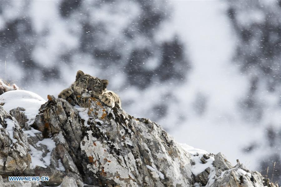 Photo taken on Oct. 26, 2017 shows a snow leopard at Three-river-source National Park in northwest China\'s Qinghai Province.  (Photo/Xinhua)