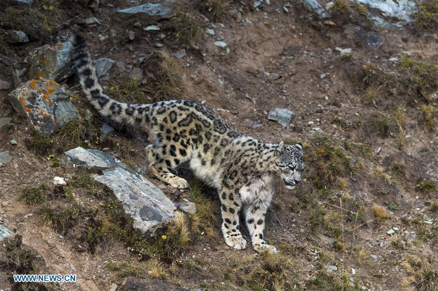 Photo taken on Oct. 22, 2017 shows a snow leopard at Three-river-source National Park in northwest China\'s Qinghai Province.  (Photo/Xinhua)