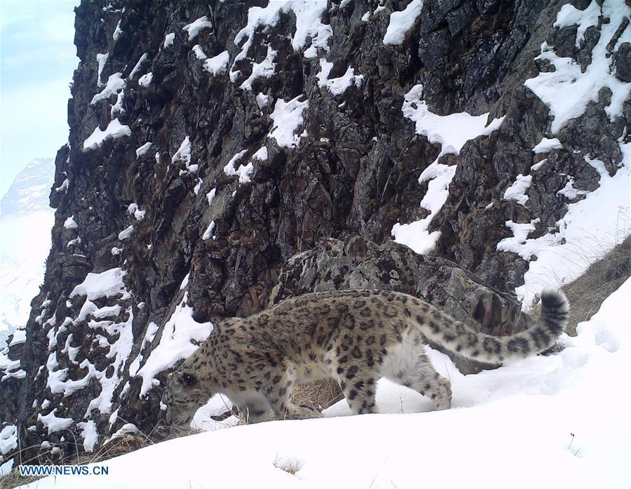 A snow leopard is captured by infrared camera on March 29, 2017 in Wolong National Nature Reserve, southwest China\'s Sichuan Province. (Photo/Xinhua)