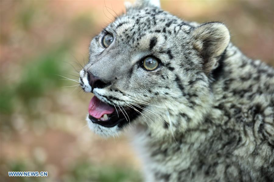 A snow leopard cub is seen in the wildlife zoo in Xining, capital of northwest China\'s Qinghai Province, June 10, 2017. (Photo/Xinhua)