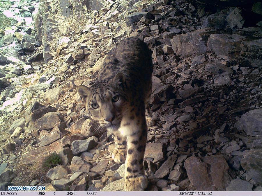 A snow leopard is pictured by infrared camera in Qilianshan National Nature Reserve in northwest China\'s Qinghai Province, June 19, 2017. (Photo/Xinhua)