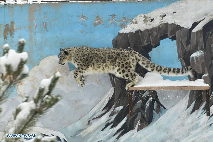 A snow leopard jumps in the snow-covered Xining Wildlife Park in Xining, capital of northwest China\'s Qinghai Province, on Nov. 7, 2018.  (Photo/Xinhua)