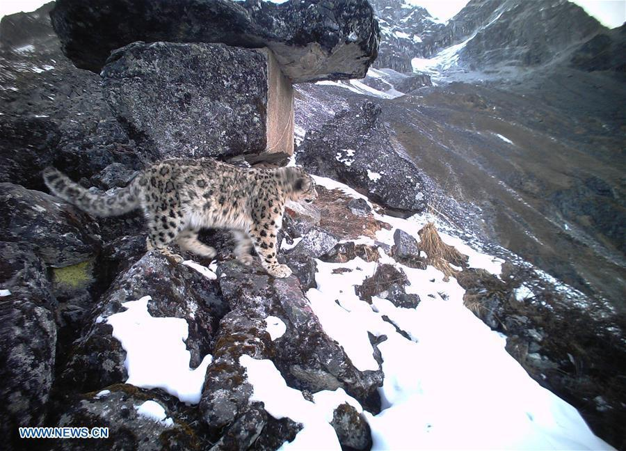 A snow leopard is captured by infrared camera on Dec. 30, 2016 in Wolong National Nature Reserve, southwest China\'s Sichuan Province. (Photo/Xinhua)