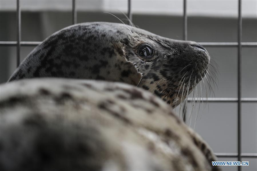 Photo taken on April 11, 2019 shows a spotted seal to be released back into the wild in Dalian, northeast China\'s Liaoning Province. Twenty-four spotted seals were released back into the wild on Thursday in the coastal city of Dalian. The 24 released seals were among 100 baby spotted seals that were illegally poached in February 2019, according to the provincial government. (Xinhua/Pan Yulong)