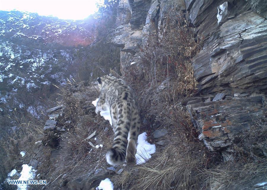 Photo taken by infrared camera on Dec. 3, 2017 shows a snow leopard in the Nujiang River valley in Changdu, southwest China\'s Tibet Autonomous Region. (Photo/Xinhua)