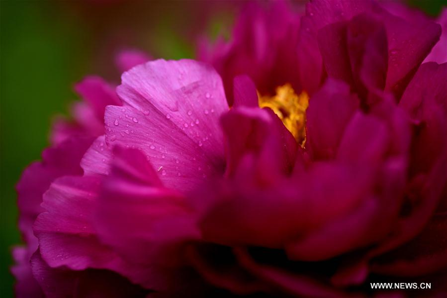 Photo taken on April 13, 2019 shows peony flowers at a film and television base in Zhengding County, north China\'s Hebei Province. Peony flowers here has entered blossom season recently. (Xinhua/Chen Qibao)