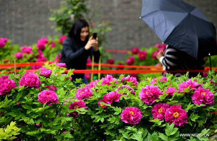 Visitors take pictures before peony flowers at a film and television base in Zhengding County, north China\'s Hebei Province on April 13, 2019. Peony flowers here has entered blossom season recently. (Xinhua/Chen Qibao)