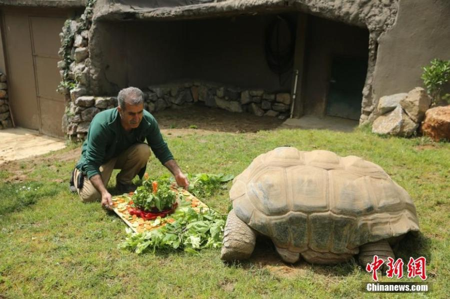 A turtle at a zoo in Kocaeli, Turkey celebrates its 99th birthday on Saturday, April 13, 2019. The turtle named Tuki was treated to a big vegetable cake for the occasion. Tuki is the oldest known turtle in Turkey.  (Photo/IC)