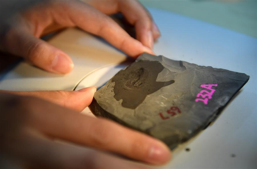A student from the Department of Geology carries out research on a fossil from the Qingjiang biota in Northwest University in Xi\'an, capital of northwest China\'s Shaanxi Province, April 8, 2019. (Xinhua/Liu Xiao)