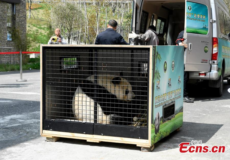Giant panda Yuan Yuan, 20, is transported from the Shenshuping base of the China Conservation and Research Center for the Giant Panda to the Shuangliu International Airport on its way to Austria for a four-year collaborative research project, April 15, 2019. (Photo: China News Service/An Yuan)