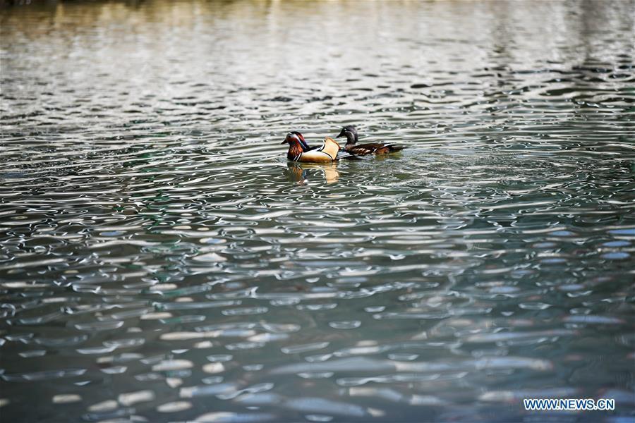 Photo taken on April 15, 2019 shows mandarin ducks at Zhaolin Park in Harbin, northeast China\'s Heilongjiang Province. (Xinhua/Wang Jianwei)