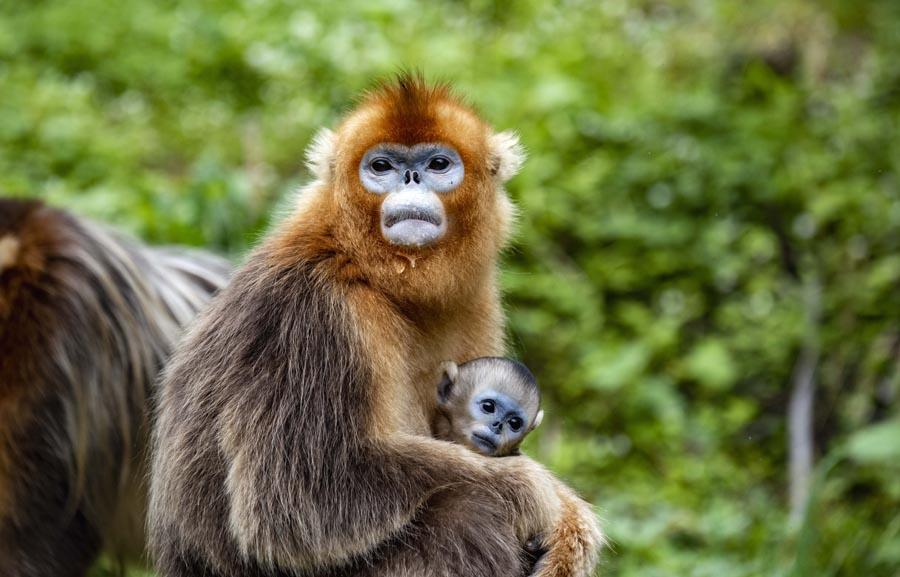 A golden snub-nosed monkey mother with her baby in Hubei province\'s Shennongjia Forestry District. (PHOTO/XINHUA)