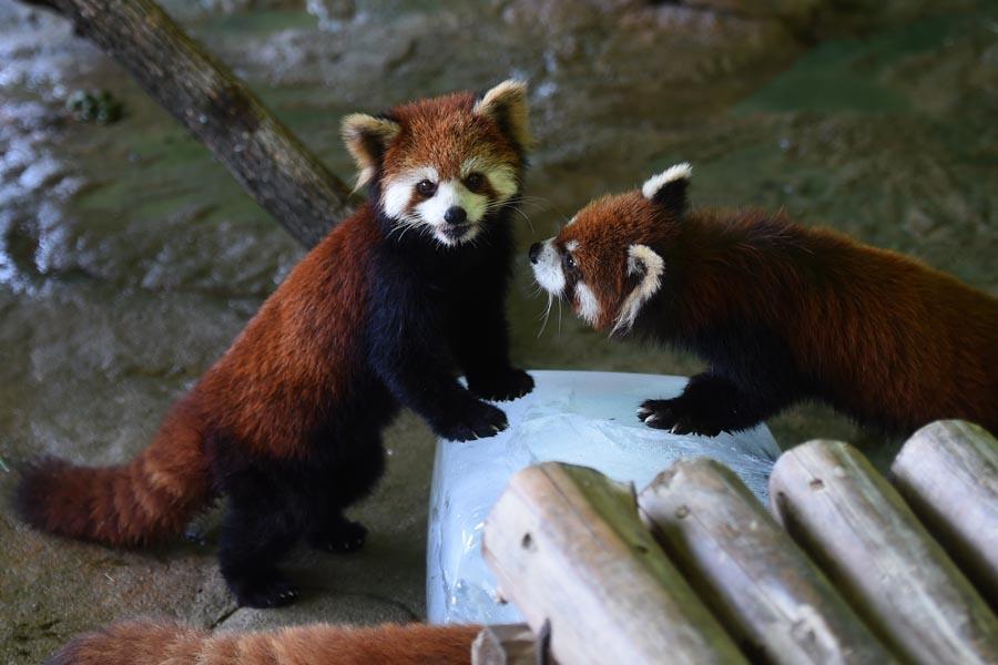Red pandas at a wild animal park in Zhejiang\'s provincial capital, Hangzhou. (PHOTO/XINHUA) Red pandas (Chengdu)  The giant panda\'s \