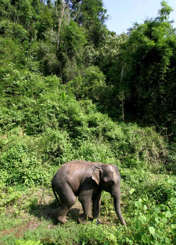 An Asian elephant in Xishuangbanna\'s tropical rainforest. (PHOTO BY SU YING/FOR CHINA DAILY)