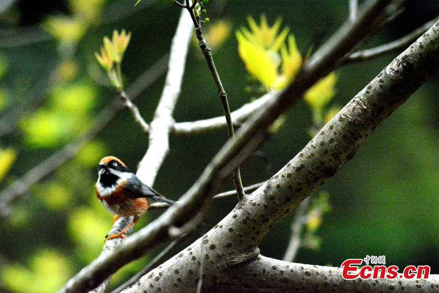 A shrike stands on a branch on the Huangshan Mountain, East China\'s Anhui Province, April 14, 2019.   (Photo/China News Service)