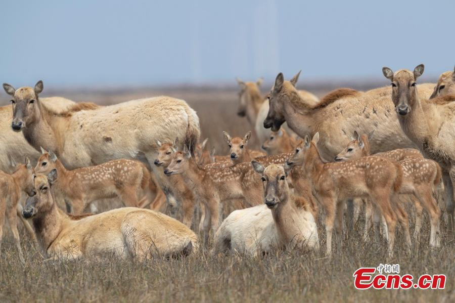 A herd of milu deer are seen on a wetland in the Dafeng Milu National Nature Reserve in Yancheng City, East China\'s Jiangsu Province, in March. Milu, also known as Pere David\'s deer, is a species endemic to China, but overhunting and habitat loss led to its near extinction in the early 20th century. The species, still under A-level state protection in China, was named after Armand David, a French missionary and naturalist who first recorded the existence of the deer in China in 1865. The animal\'s gestation period is approximately nine months, after which a single offspring is born, usually in March or April. (Photo: China News Service/Sun Huajin)