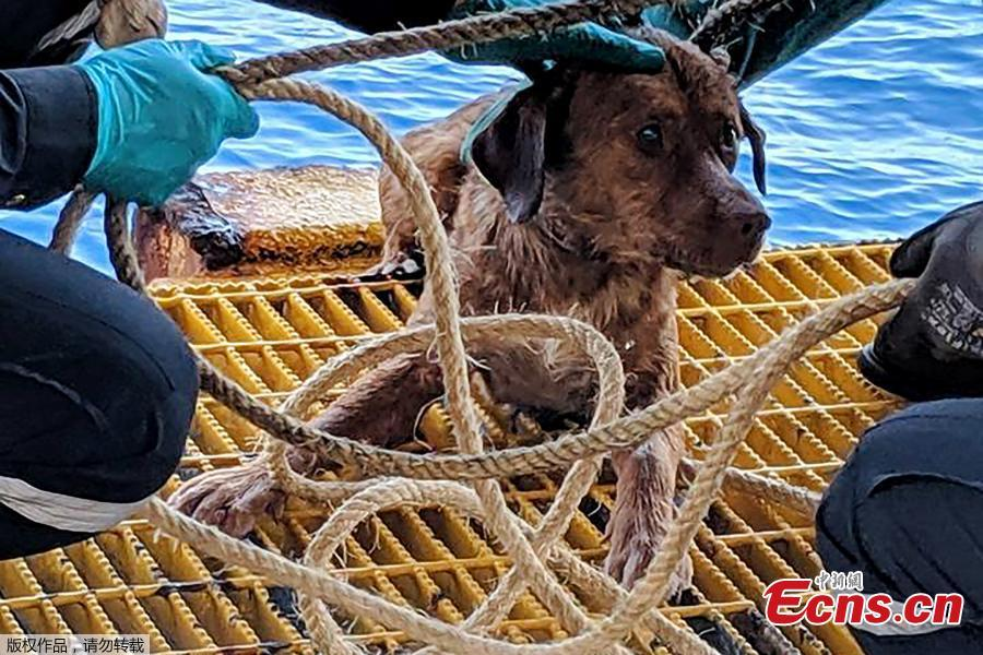 Workers from the Chevron Thailand Exploration and Production Ltd. oil rig rescued a dog swimming 137 miles offshore in the Gulf of Thailand, April 12, 2019. (Photo/Agencies)