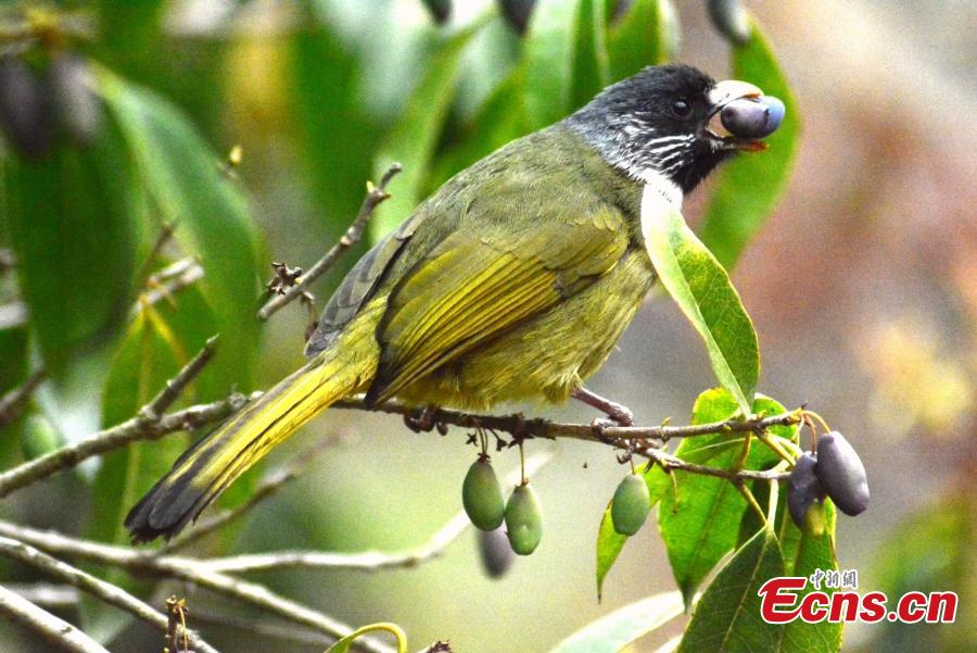A collared finchbill stands on a branch with a fruit in her beak on the Huangshan Mountain, East China\'s Anhui Province, April 14, 2019.  (Photo/China News Service)