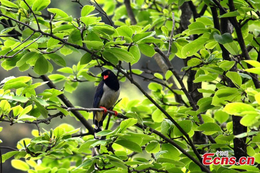 A Red-billed Blue Magpie rests on a branch on the Huangshan Mountain, East China\'s Anhui Province, April 14, 2019.   (Photo/China News Service)