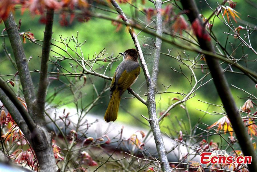 A Mountain Bulbul observes its surrounding environment on a branch on the Huangshan Mountain, East China\'s Anhui Province, April 14, 2019.   (Photo/China News Service)