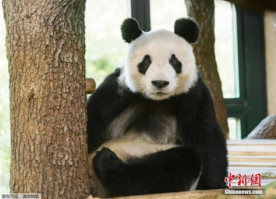 Photo shows newly arrived giant panda Yuan Yuan sitting in his enclosure at the Schonbrunn Zoo in Vienna, Austria on Wednesday, April 17, 2019. The 20-year-old male panda left China for Austria on Tuesday for a four-year collaborative research project. (Photo/Agencies)