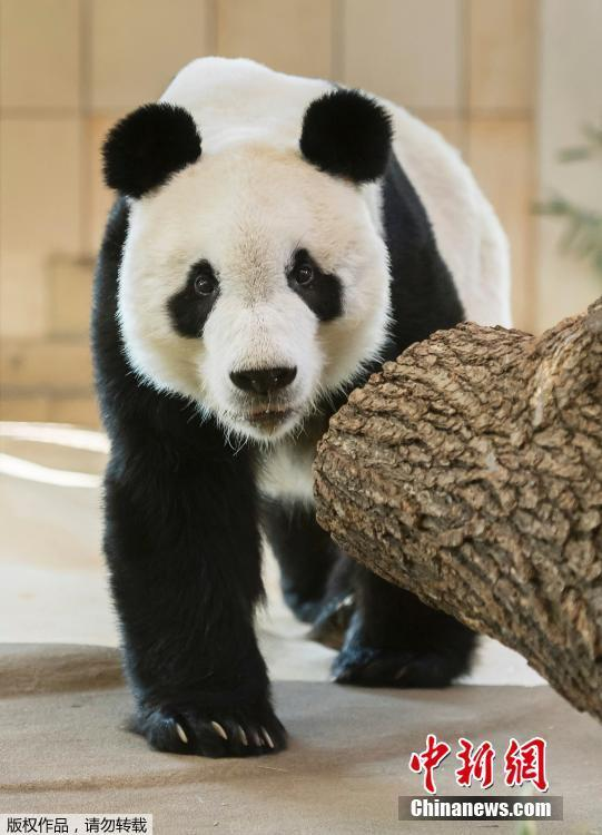 Photo shows newly arrived male panda Yuan Yuan walking in his enclosure at the Schonbrunn Zoo in Vienna, Austria on Wednesday, April 17, 2019.  (Photo/Agencies)