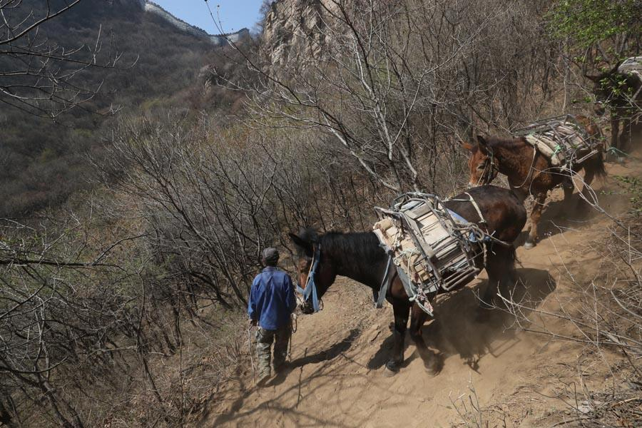 Mules help restorers carry supplies up to the mountain through rocky cliffs. (PHOTO/CHINA DAILY)  Many approaches  A common rule in the restoration of the Great Wall today: No more than 1 kilometer in length, which means no more than five towers, are restored in one phase.  \