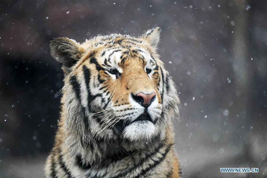 A Siberian tiger looks around at a tiger park as snow falls in Hailin, northeast China\'s Heilongjiang Province, April 18, 2019. (Xinhua/Wang Jianwei)