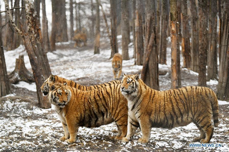 Siberian tigers look around at a tiger park as snow falls in Hailin, northeast China\'s Heilongjiang Province, April 18, 2019. (Xinhua/Wang Jianwei)