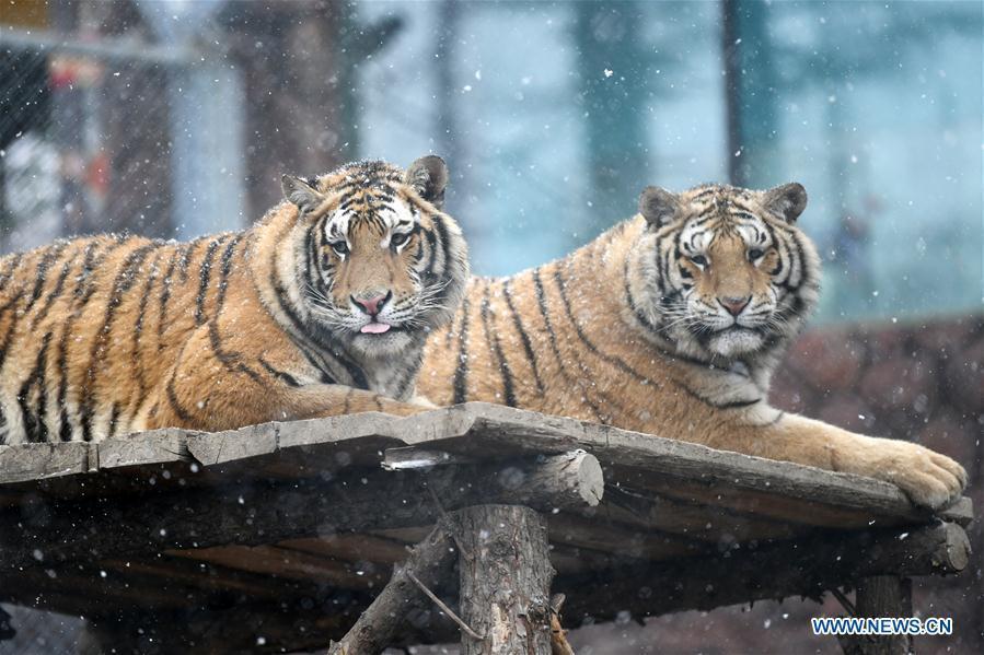 Two Siberian tigers take a rest at a tiger park as snow falls in Hailin, northeast China\'s Heilongjiang Province, April 18, 2019. (Xinhua/Wang Jianwei)