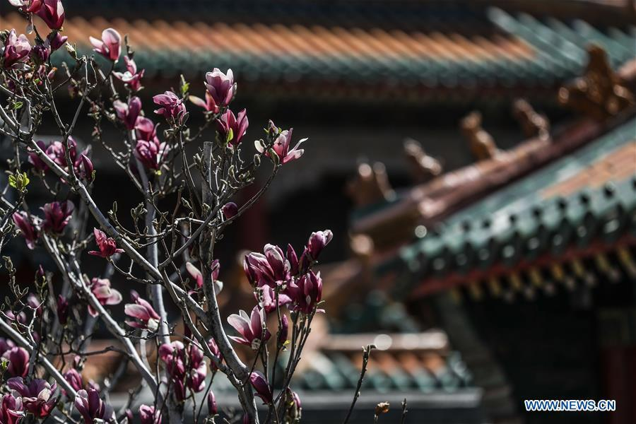 Photo taken on April 18, 2019 shows magnolia flowers at the Shenyang Palace Museum in Shenyang, northeast China\'s Liaoning Province. (Xinhua/Pan Yulong)