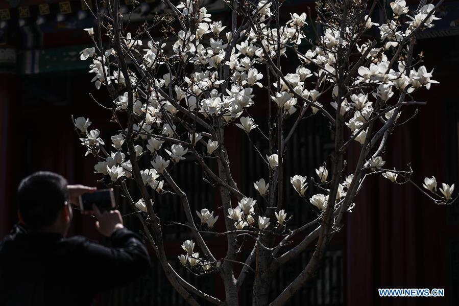 A tourist takes photos of magnolia flowers at the Shenyang Palace Museum in Shenyang, northeast China\'s Liaoning Province, April 18, 2019. (Xinhua/Pan Yulong)