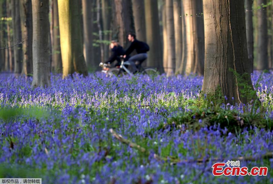 Photo taken on April 18, 2019 shows wild bluebells in the Hallerbos, near Brussels, Belgium. The Hallerbos is also known as \