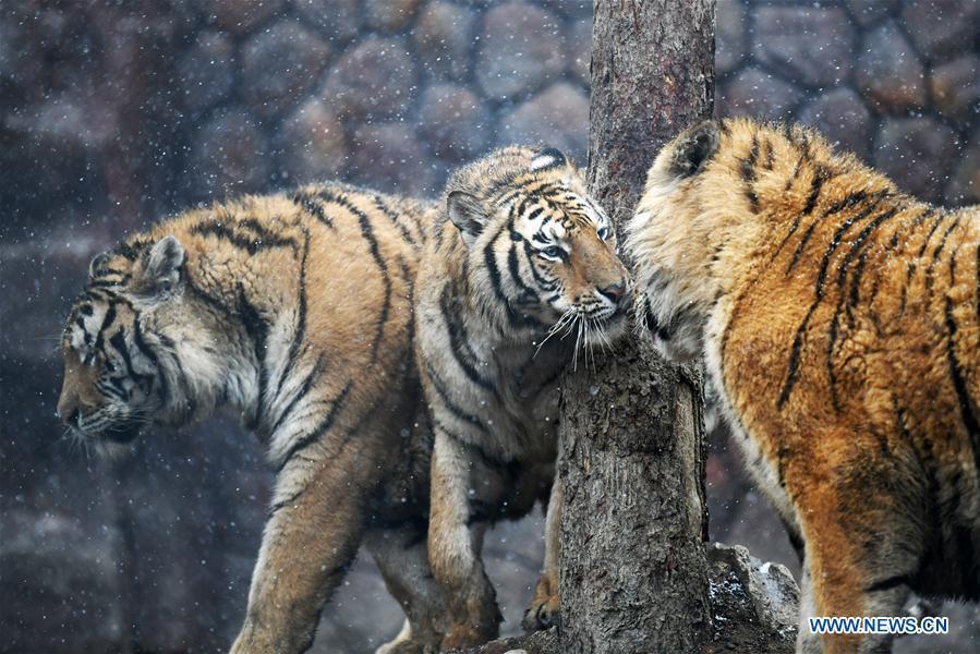 Siberian tigers socialize at a tiger park as snow falls in Hailin, northeast China\'s Heilongjiang Province, April 18, 2019. (Xinhua/Wang Jianwei)