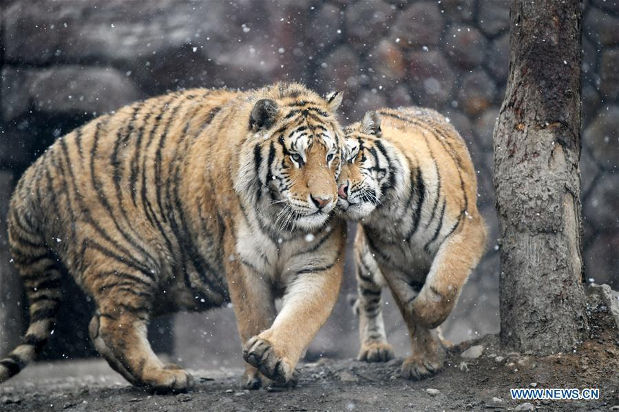 Two Siberian tigers socialize with one another at a tiger park as snow falls in Hailin, northeast China\'s Heilongjiang Province, April 18, 2019. (Xinhua/Wang Jianwei)