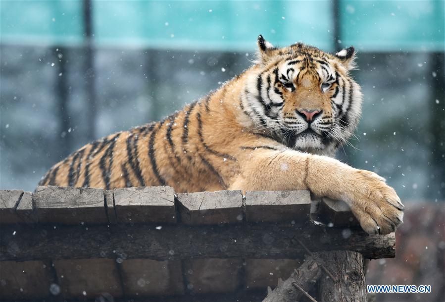 A Siberian tiger takes a rest at a tiger park as snow falls in Hailin, northeast China\'s Heilongjiang Province, April 18, 2019. (Xinhua/Wang Jianwei)
